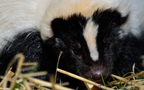 Picture skunk, eats, by Nushaa