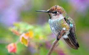 Picture background, focus, branch, Hummingbird