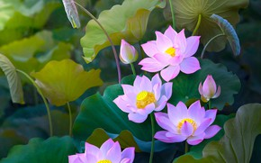 Wallpaper buds, Lotus, pink, Lotus, leaves, composition, treatment, nature, art, flowers