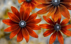 Picture flowers, background, Rudbeckia