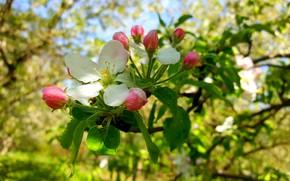 Picture Spring, Flowering, Apple-blossom, Flowering Crabapple