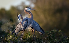 Picture birds, nature, Great Blue Heron
