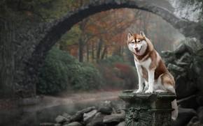 Picture autumn, bridge, nature, dog, Husky