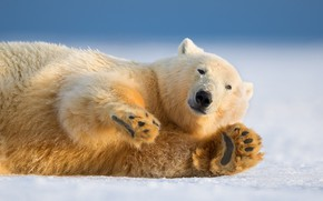 Picture winter, look, nature, paw, polar bear