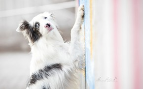 Picture look, dog, paws, The border collie