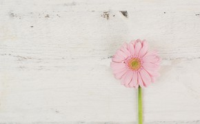 Picture background, Flower, Gerbera