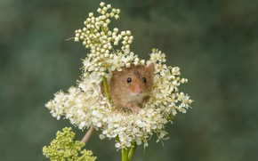 Picture flowers, background, mouse