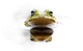Wallpaper eyes, water, frog, head, amphibian