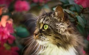 Picture cat, cat, mustache, look, face, leaves, flowers, nature, grey, background, portrait, blur, fluffy, garden, profile, …