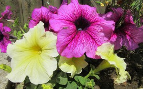 Picture flowers, Petunia, spring 2018, Mamala ©