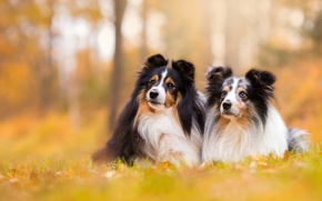 Picture dogs, background, a couple, bokeh, sheltie, Shetland Sheepdog