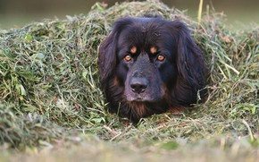 Picture grass, face, dog, shelter, disguise, dog, Hovawart