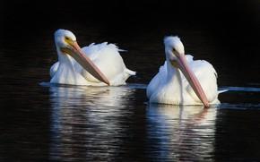 Picture bird, beak, pair, American white Pelican