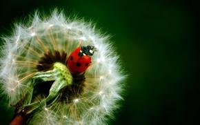 Picture nature, dandelion, ladybug