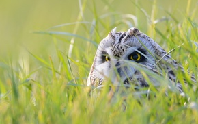 Picture grass, look, light, owl