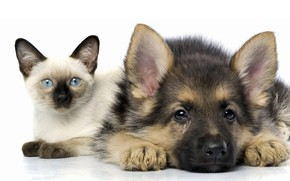 Picture cat, white, cat, background, dog, puppy