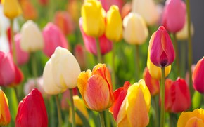 Picture tulips, buds, colorful