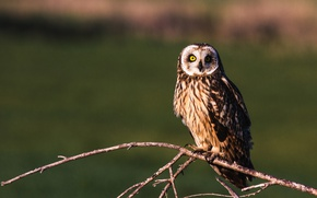 Picture look, branch, Short-eared owl