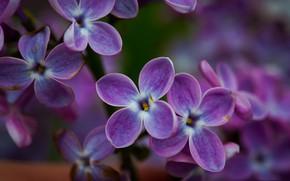 Picture macro, petals, lilac, inflorescence
