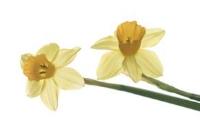 Picture macro, spring, petals, Narcissus