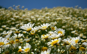 Wallpaper the sky, summer, nature, field, petals, chamomile, flowers