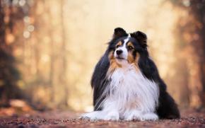 Picture portrait, dog, bokeh, sheltie, Shetland Sheepdog