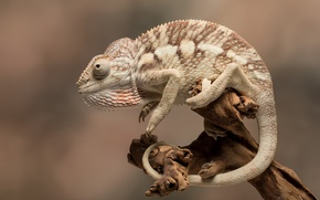 Picture nature, chameleon, background