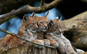 Picture stay, predators, wild cats, company, trio, lynx