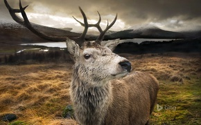 Picture mountains, nature, lake, deer, Scotland, horns