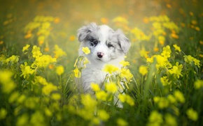 Wallpaper flowers, puppy, dog, bokeh, The border collie