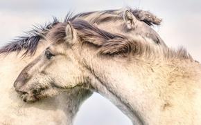 Wallpaper nature, background, horses