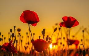 Wallpaper field, sunset, nature, Mac, petals, meadow