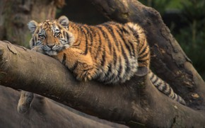Picture Tree, Tiger, Cat, Stay, Animal