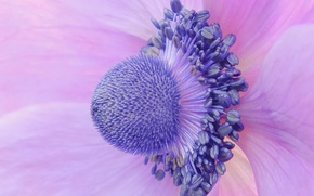 Picture flower, macro, petals, Anemone, Anemone