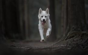 Picture dog, running, flight, bokeh, Gerberian Shepsky
