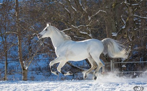 Picture white, horse, horse, speed, power, running, grace, jump, corral, gallop, (с) Oliver Seitz