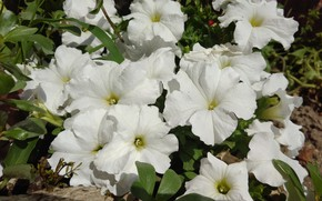 Picture summer, white, flowerbed, petunias, mamala ©