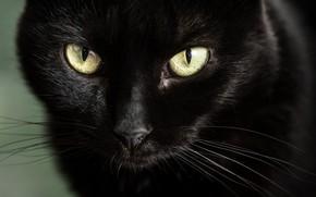 Wallpaper black cat, look, muzzle, eyes