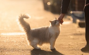 Picture cat, hand, weasel, Ragdoll