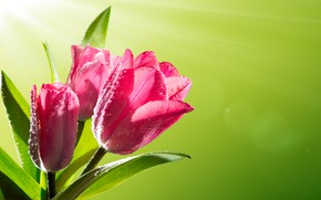 Picture the sun, drops, flowers, Rosa, spring, tulips, fresh, pink, flowers, tulips, spring, sunlight