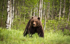 Picture forest, bear, Finland