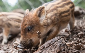 Picture Nature, Animal, Pig, Pig