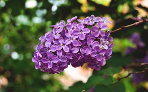 Picture macro, nature, spring, flowering, lilac, inflorescence