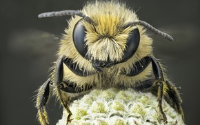 Picture macro, bee, portrait