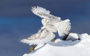 Picture winter, snow, owl, wings, snowy owl, white owl