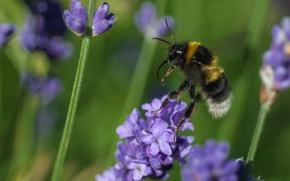 Picture flower, macro, bee, plant, insect, bumblebee