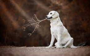 Wallpaper Golden Retriever, Golden Retriever, branch, bokeh, dog