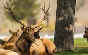 Picture animals, deer, horns