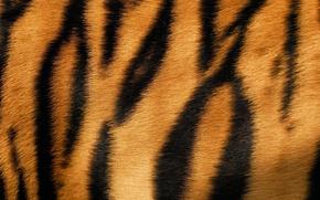Picture tiger, skin, fur, texture, animal, fur