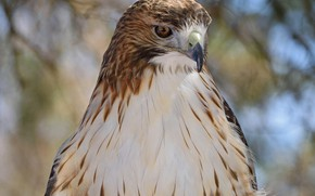 Picture nature, hawk, bokeh, by Nushaa